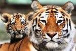 25 сентября – День тигра на Дальнем Востоке